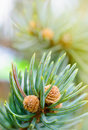 Fresh pine tree sprout Royalty Free Stock Photo