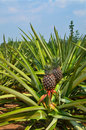 Fresh Pineapple in farm Stock Photography