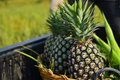 Fresh Pineapples from farm Royalty Free Stock Image