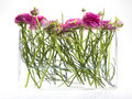 Fresh pink flowers (crowfoot) in a glass vase Royalty Free Stock Photo