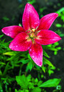 Fresh pink lilly . Royalty Free Stock Photo