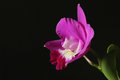 Fresh pink orchid detail in dark Royalty Free Stock Photo
