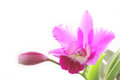 Fresh pink orchid detail in sunshine Royalty Free Stock Photo