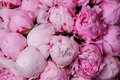 Fresh pink peony flower texture background close up Stock Photo