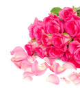 Fresh pink roses bouquet with petals close up isolated on white background Royalty Free Stock Photo