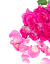 Fresh pink roses bouquet with petals isolated on white background Royalty Free Stock Photo