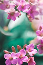 Fresh Pink Spring Blossom Royalty Free Stock Photo