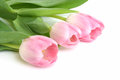 Fresh pink tulips on a white background Stock Photography