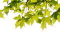 Fresh plane trees leaves on the white background Royalty Free Stock Photo