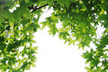 Fresh plane trees leaves on the white background Royalty Free Stock Image
