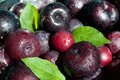 Fresh plums close up of wet in the colander selective focus Stock Photos