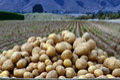 Potatoes field Royalty Free Stock Photo