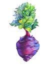 Fresh purple cabbage kohlrabi with green leaves German turnip.