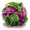 Fresh purple cauliflower with green leaves, isolated object, watercolor illustration on white