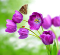 Fresh purple tulips with butterfly morpho on green background Stock Images