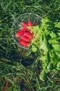 Fresh radish vegetables harvest crop water washing in the garden Royalty Free Stock Photo