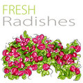 Fresh Radishes Stock Photos