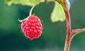 Fresh raspberries ripe red at a fruit farm in the summer Royalty Free Stock Image