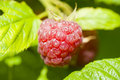 Fresh raspberry on bush Stock Images