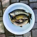 Fresh raw river fish. Pike, tench, bream. Catch. Royalty Free Stock Photo