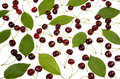 Fresh red cherries and green leaves Royalty Free Stock Photo