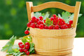 Fresh red currant in wooden basket on the garden table Stock Photography
