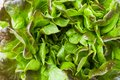 Fresh red lettuce Bush Oak leaves. Close up. Green background Royalty Free Stock Photo