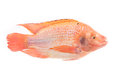 Fresh red nile tilapia fish oreochromis niloticus on white background Stock Photo