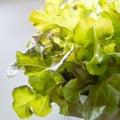 Fresh red oak lettuce pic of Stock Photos