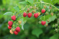 Fresh red ripe raspberries on branch. Royalty Free Stock Photo