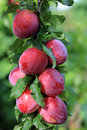 Fresh ripe plums on branch Royalty Free Stock Photo