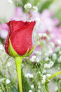 Fresh red rose bud Royalty Free Stock Photo