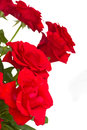 Fresh red roses close up isolated on white background Stock Photography