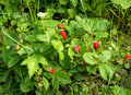 Fresh red strawberries growing in the garden Stock Photos