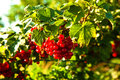 Fresh red tasteful berry hanging on the bush ready for picking Royalty Free Stock Photos