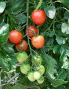 Fresh red tomatoes on the plant very Stock Image