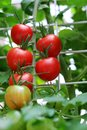 Fresh red tomatoes on the plant very Royalty Free Stock Photography