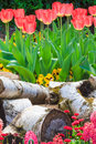 Fresh red tulips in a park spring landscape Stock Images