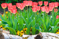 Fresh red tulips in a park spring landscape Royalty Free Stock Photo