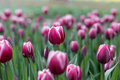 Fresh red tulips Royalty Free Stock Photo