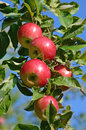 Fresh ripe apples on apple tree branch in the garden Royalty Free Stock Photo