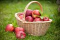 Fresh ripe apples in basket Royalty Free Stock Image