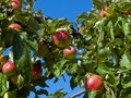 Fresh ripe apples on a tree Stock Images