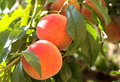 Fresh and ripe peaches Stock Images