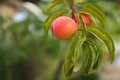 Fresh ripe peaches tree Stock Images