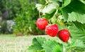 Fresh ripe red strawberry. Bush grow in the garden.