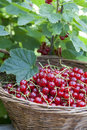 Fresh ripe sweet red currant in basket Royalty Free Stock Photo