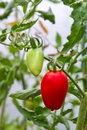 Fresh ripe tomato on branch Stock Photo
