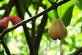 Fresh rose apple on tree in the garden fruit Royalty Free Stock Image