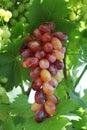 Fresh rose and green grapes Royalty Free Stock Photo